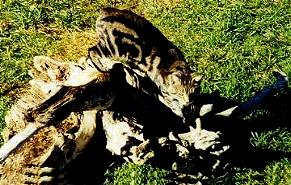 Desert Lynx Cats